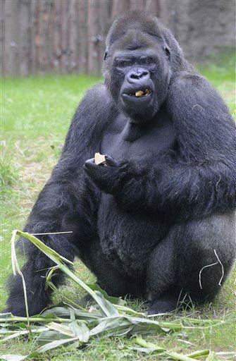 """<div class=""""meta image-caption""""><div class=""""origin-logo origin-image """"><span></span></div><span class=""""caption-text"""">Das Gorillamaennchen (Gorilla gorilla) Gorgo laeuft am Mittwoch (29.08.12) in der Innenanlage des Darwineums im Zoo in Rostock. Am 8. September 2012 eroeffnet das 20.000 Quadratmeter grosse Tropenhaus mit den Gorillas und Orang-Utans im Zoo der Hansestadt seine Pforten fuer die Besucher. (zu dapd-Text) Foto: Frank Hormann/dapd (Photo/Frank Hormann)</span></div>"""