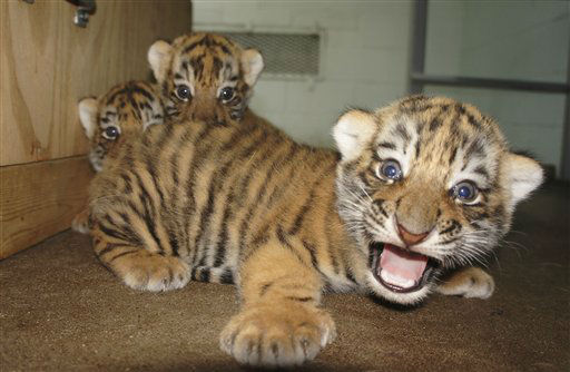 In this July 23, 2012 photo provided by the Peoria Zoo, three of four baby tiger cubs, born in late June, are seen at the zoo in Peoria, Ill. Zoo officials announced the births Tuesday, July 24, 2012 and said they are the first tiger cub births at the Peoria Zoo in more than 30 years. The mother and cubs will stay inside until the babies are old enough to safely navigate their outdoor exhibit. &#40;AP Photo&#47;Courtesy the Peoria Zoo&#41; <span class=meta>(AP Photo&#47; Uncredited)</span>