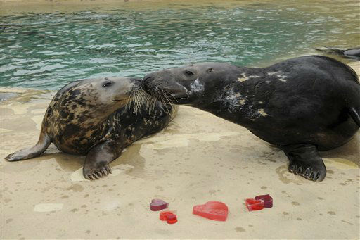 In this Feb. 12, 2013 photo provided by the Chicago Zoological Society, grey seals Tasha, 9, left, and Boone, 9, give their seal of approval for the heart-shaped gelatin and ice treats they received for Valentine?s Day at the Brookfield Zoo in Brookfield, Ill. The Animal Programs staff for the Chicago Zoological Society is always thinking of ways to physically and mentally stimulate the animals at Brookfield Zoo. One way is by providing them with a variety of different enrichment and food items they normally do not receive on a regular basis. &#40;AP Photo&#47;Chicago Zoological Society, Jim Schulz&#41; <span class=meta>(AP Photo&#47; Jim Schulz)</span>