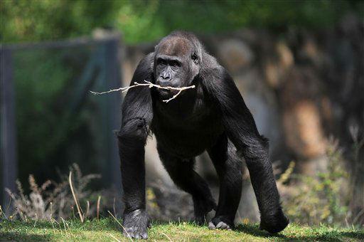 """<div class=""""meta """"><span class=""""caption-text """">Ein weiblicher Flachlandgorilla (Gorilla gorilla) traegt am Freitag (10.08.12) in Berlin im Zoo in seinem Gehege ein Aestchen im Maul. Foto: Paul Zinken/dapd</span></div>"""