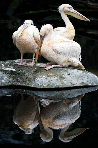 Three Great White Pelicans sit on a rock and are reflected in a pool at the zoo in Frankfurt, central Germany, Monday, Jan. 28, 2013. &#40;AP Photo&#47;dpa, Nicolas Armer&#41; <span class=meta>(AP Photo&#47; Nicolas Armer)</span>