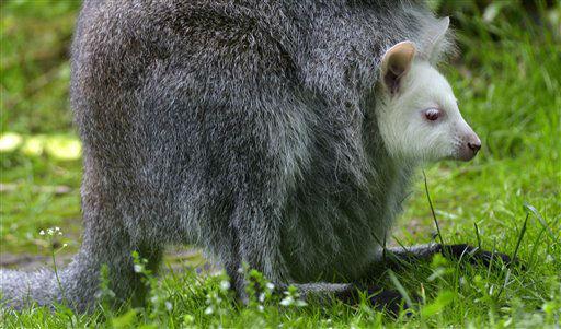 ARCHIV: Ein damals noch namenloses Albino-Bennettkaenguru sitzt im Zoo in Duisburg im Beutel seiner Mutter &#40;Foto vom 22.06.12&#41;. Wie der Zoo Duisburg am Montag &#40;14.01.13&#41; mitteilte, ist das weisse Bennett-Kaenguru &#34;Nala&#34; am Wochenende &#40;12.&#47;13.01.13&#41; von einem Fuchs gerissen worden. Am Dienstag &#40;15.01.13&#41; waere &#34;Nala&#34; ein Jahr alt geworden. &#40;zu dapd-Text&#41; Foto: Sascha Schuermann&#47;dapd <span class=meta>(Photo&#47;Sascha Schuermann)</span>