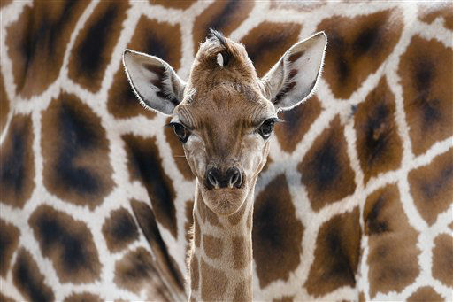 "<div class=""meta image-caption""><div class=""origin-logo origin-image ""><span></span></div><span class=""caption-text"">Eric the new born Rothschild giraffe stands in front the mother Lotti during its first presentation for public at the Tierpark zoo in Berlin, Friday, April 19, 2013. (AP Photo/Markus Schreiber)  </span></div>"