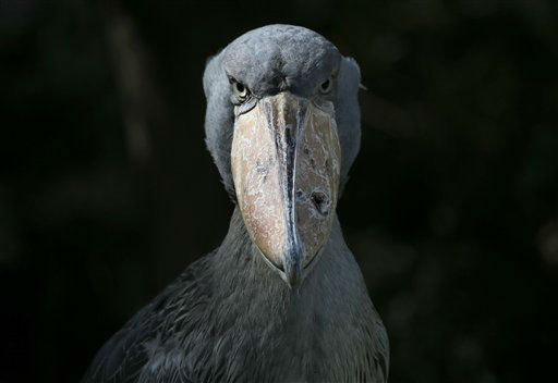 A shoebill at Ueno Zoo in Tokyo, Japan on Tuesday, Aug. 28, 2012.&#40;AP Photo&#47;Itsuo Inouye&#41; <span class=meta>(AP Photo&#47; Itsuo Inouye)</span>