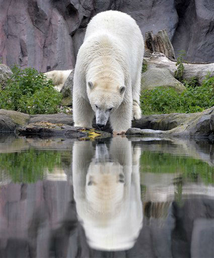 A polar bear watches his reflection in the water, on a rainy summer day at the zoo in Gelsenkirchen, Germany, Wednesday, July 3, 2013. &#40;AP Photo&#47;Martin Meissner&#41; <span class=meta>(AP Photo&#47; Martin Meissner)</span>