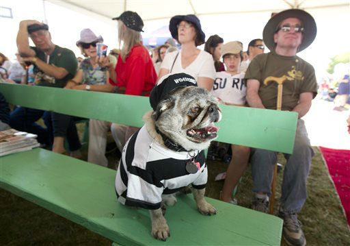 Grovie, a 10-year-old pug, waits to compete in the 25th annual World&#39;s Ugliest Dog Contest at the Sonoma-Marin Fair on Friday, June 21, 2013, in Petaluma, Calif. &#40;AP Photo&#47;Noah Berger&#41; <span class=meta>(AP Photo&#47; Noah Berger)</span>