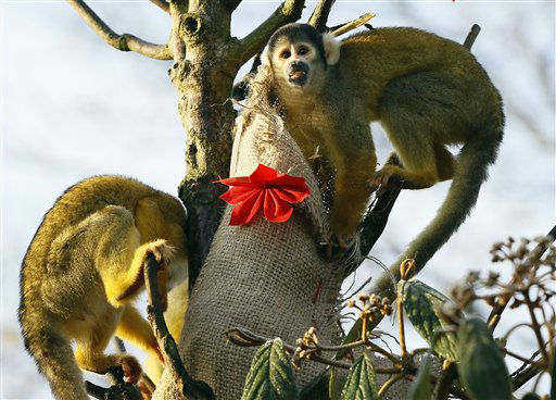 Squirrel monkeys investigate a Christmas stocking given to them, during a media opportunity at London Zoo, Wednesday, Dec. 12, 2012. The animals at ZSL London Zoo are set to enjoy a wild Christmas this year, with some very merry treats. Lion cubs Heidi and Indi have definitely made it on to Santa?s ?good? list and will be getting their paws on some presents, whilst the penguins will be treated to festive fishy gifts under the tree. &#40;AP Photo&#47;Kirsty Wigglesworth&#41; <span class=meta>(AP Photo&#47; Kirsty Wigglesworth)</span>