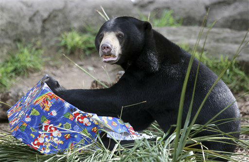 A sun bear opens a Christmas food gift at Taronga Zoo in Sydney, Australia, Friday, Dec. 14, 2012. Animals ripped open festively wrapped Christmas gifts filled with fruit and nut style treats. &#40;AP Photo&#47;Rob Griffith&#41; <span class=meta>(AP Photo&#47; Rob Griffith)</span>