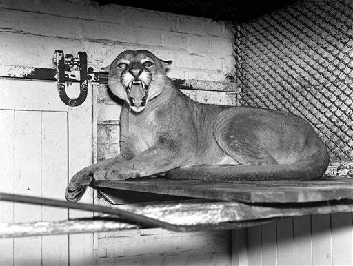 "<div class=""meta image-caption""><div class=""origin-logo origin-image ""><span></span></div><span class=""caption-text"">An angry Puma irritated by the photographer?s bid for a close-up, in London Zoo, England, on Dec. 11, 1937. (AP Photo) (AP Photo/ IP SB, NC. KEY S, RO. XMH)</span></div>"