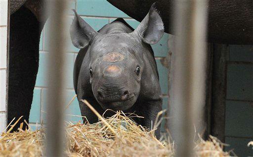 """<div class=""""meta """"><span class=""""caption-text """">Spitzmaulnashorn (Diceros bicornis) Akili steht am Freitag (10.08.12) im Zoo in Berlin in seinem Gehege. Das Weibchen wurde am Montag (06.08.12) geboren und haelt sich derzeit nur im Bereich von Mutter Ine auf. In drei bis vier Wochen wird das Duo dann auch auf der Freianlage zu sehen sein. (zu dapd-Text) Foto: Paul Zinken/dapd</span></div>"""