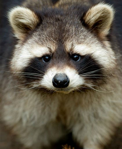A racoon &#40;Procyon lotor&#41; looks into the camera of the photographer from its compound at an animal park in Hamburg, northern Germany, Thursday, Feb. 28, 2013. &#40;AP Photo&#47;dpa, Sven Hoppe&#41; <span class=meta>(AP Photo&#47; Sven Hoppe)</span>