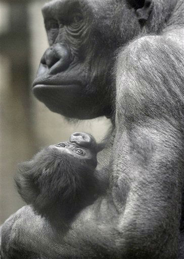 A newborn Gorilla baby sits in the hands of his mother Changa-Maidi at the zoo in Muenster, western Germany, Friday, Feb. 22, 2013. The little western lowland Gorilla boy was born 4 weeks ago. (AP Photo/Martin Meissner)