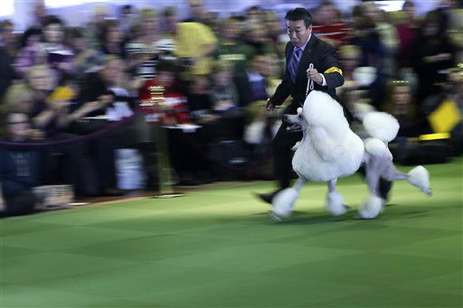 "<div class=""meta image-caption""><div class=""origin-logo origin-image ""><span></span></div><span class=""caption-text"">A handler shows a standard poodle in the ring during the 137th Westminster Kennel Club dog show, Monday, Feb. 11, 2013 in New York.  (AP Photo/Mary Altaffer) (AP Photo/ Mary Altaffer)</span></div>"