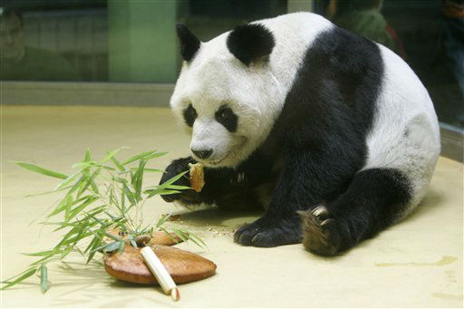 ARCHIV: Pandabaer Bao Bao frisst in seinem Gehege im Zoo in Berlin einen Kuchen, den er zu seinem 25 &#40;Foto vom 04.11.05&#41;. Der aelteste in Gefangenschaft lebende maennliche Pandabaer der Welt, Bao Bao, stirbt im Alter von 34 Jahren im Berliner Zoo. &#40;zu dapd-Text&#41; Foto: Franka Bruns&#47;AP&#47;dapd <span class=meta>(Photo&#47;Franka Bruns)</span>
