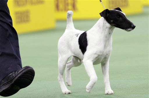 "<div class=""meta image-caption""><div class=""origin-logo origin-image ""><span></span></div><span class=""caption-text"">Adam, a smooth fox terrier and winner of the terrier group, is shown during the 137th Westminster Kennel Club dog show, Tuesday, Feb. 12, 2013, at Madison Square Garden in New York. (AP Photo/Frank Franklin II) (AP Photo/ Frank Franklin II)</span></div>"