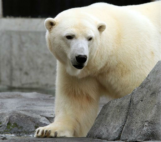 Ahpun, a female polar bear, strolls around her cage at the Alaska Zoo on Wednesday, Sept. 5, 2012, in Anchorage, Alaska. The bear is one of two candidates for zoo &#34;president&#34; in a fundraiser that matches the timing of the U.S. presidential race. She&#39;s running against Denali, a wolf, and ballots are &#36;1.  &#40;AP Photo&#47;Dan Joling&#41; <span class=meta>(AP Photo&#47; Dan Joling)</span>