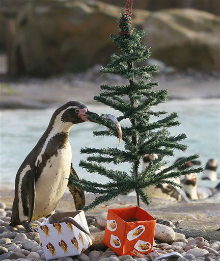 A penguin finds a fish placed on a Christmas tre,  during a media opportunity at London Zoo, Wednesday, Dec. 12, 2012. The animals at ZSL London Zoo are set to enjoy a wild Christmas this year, with some very merry treats. Lion cubs Heidi and Indi have definitely made it on to Santa?s ?good? list and will be getting their paws on some presents, whilst the penguins will be treated to festive fishy gifts under the tree.  &#40;AP Photo&#47;Kirsty Wigglesworth&#41; <span class=meta>(AP Photo&#47; Kirsty Wigglesworth)</span>