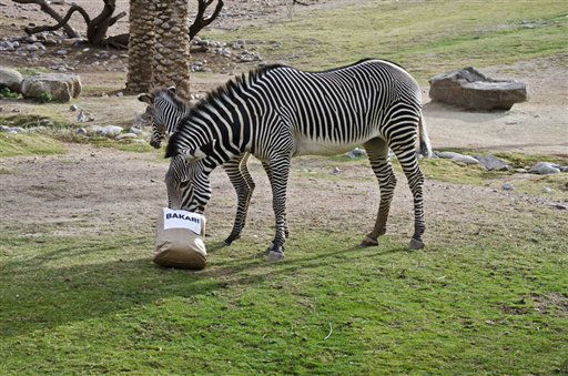 This image provided by the Phoenix Zoo shows Masika selecting a name for her newborn Grevy's zebra foal by choosing one of three treat bags, each labeled with a Swahili name, Wednesday Feb. 6, 2013 in Phoenix. Zoo spokeswoman Linda Hardwick says Masika quickly chose the bag labeled Bakari. The name means ?one who succeeds.?(AP Photo/Phoenix Zoo)