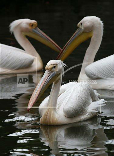 CORRECTS TYPE OF ANIMAL - Pelicans swim on a lake at the Giza Zoo in Giza, Egypt, Friday, May 10, 2013. Officials are considering raising the prices of entry fees at the Giza Zoo and zoos in the other areas, to three Egyptian pounds &#40;about half of one U.S. dollar&#41; instead of the current price of two pounds. &#40;AP Photo&#47;Hassan Ammar&#41; <span class=meta>(AP Photo&#47; Hassan Ammar)</span>