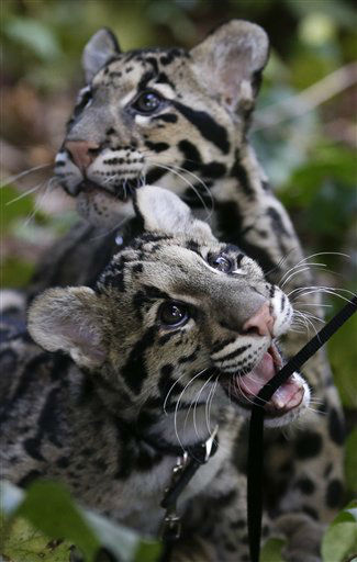 Haui-San, front, a Clouded Leopard cub, plays with his leash as his brother Niki-San looks off behind, during a garden walk at the San Diego Zoo Wednesday, Jan. 16, 2013, in San Diego. The cubs, both about five months old, are undergoing training before interacting with the public. &#40;AP Photo&#47;Gregory Bull&#41; <span class=meta>(AP Photo&#47; Gregory Bull)</span>
