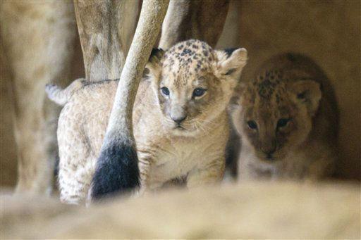 Technischer Hinweis: Bestmoegliche verfuegbare Qualitaet &#43;&#43;&#43; Das Bild wurde durch eine Glasscheibe aufgenommen &#43;&#43;&#43; Die Loewen-Jungen &#40;Panthera leo&#41; Abaya und Damien stehen am Donnerstag &#40;06.09.12&#41; in seinem Gehege im Zoo in Dresden neben ihrer Mutter Leyla. Die beiden vor etwa fuenf Wochen geborenen Loewenkoennen momentan auch von ihren Pflegern nicht sicher voneinander unterschieden werden. Foto: Joern Haufe&#47;dapd <span class=meta>(Photo&#47;Joern Haufe)</span>