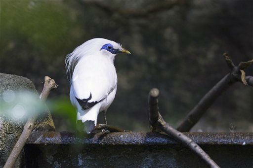 "<div class=""meta ""><span class=""caption-text "">In this Aug. 13, 2012 photo provided by Chicago's Lincoln Park Zoo, a Bali mynah chick, one of three that were hatched in July, are seen in their habitat at the zoo. Bali mynahs are among the world's rarest birds. It's the first time in 12 years the zoo has seen a successful hatching of the birds. The zoo says there are only 115 wild birds on its native range on Indonesia's island of Bali and an estimated 1,000 more in captivity. (AP Photo/Courtesy the Lincoln Park Zoo, Todd Rosenberg) (AP Photo/ Todd Rosenberg)</span></div>"