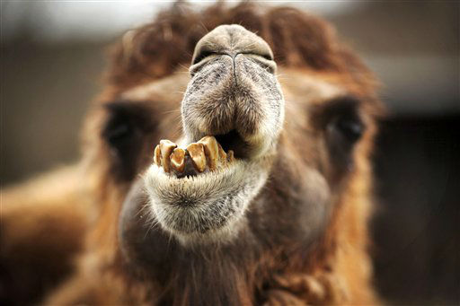 A Bactrian camel waits in its enclosure in the Opel zoo, in Kronberg, near Frankfurt, central Germany, Sunday April 14, 2013.  &#40;AP Photo&#47;dpa,Fredrik Von Erichsen&#41; <span class=meta>(AP Photo&#47; Fredrik Von Erichsen)</span>