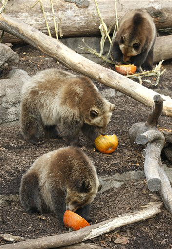 Three grizzly bears eat pumpkins at the Cleveland MetroParks Zoo Tuesday, Nov. 20, 2012, in Cleveland. The Zoo&#39;s grizzly and sloth bears got early holiday treats for the Thanksgiving holiday. &#40;AP Photo&#47;Tony Dejak&#41; <span class=meta>(AP Photo&#47; Tony Dejak)</span>
