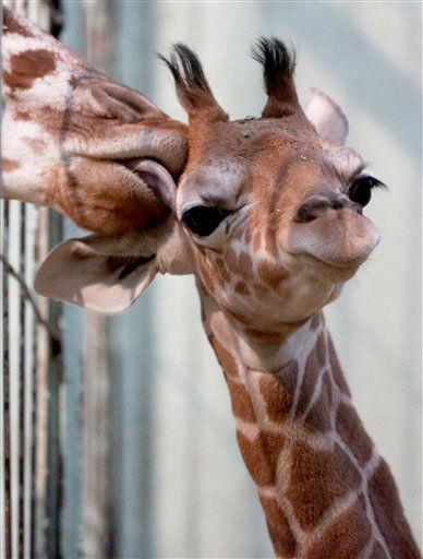 """Das Netzgiraffen-Jungtier (Giraffa camelopardalis reticulata) """"Jengo"""" wird am Dienstag (29.01.13) in seinem Gehege im Zoo in Frankfurt am Main von einer anderen Giraffe abgeleckt. Das Jungtier kam am 12. Januar mit einem Gewicht von 62,6 kg und einer Groesse von 1,78 m zur Welt. Um den Tieren etwas Ruhe zu goennen, verbrachten Mutter Chiara und ihr Nachwuchs die ersten Tage unter Ausschluss der Oeffentlichkeit und getrennt von Vater Hatari und den anderen Giraffen. Foto: Alex Domanski/dapd"""