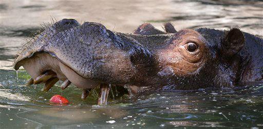 Ein Flusspferd &#40;Hippopotamus amphibius&#41; oeffnet am Freitag &#40;17.08.12&#41; in einem Becken im Karlsruher Zoo in Karlsruhe sein Maul. Den Deutschen steht ein heisses Wochenende &#40;18.&#47;19.08.12&#41; bevor. Die Temperaturen klettern im Westen und Suedwesten oertlich auf bis zu 38 Grad, wie der Deutsche Wetterdienst am Freitag in Offenbach mitteilte. Der Sonntag koennte den Angaben zufolge der bisher heisseste Tag des Jahres werden. Die Hitzewelle wird aber nur von kurzer Dauer sein. &#40;zu dapd-Text&#41; Foto: Ronald Wittek&#47;dapd <span class=meta>(Photo&#47;Ronald Wittek)</span>