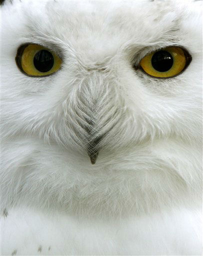 A young snowy owl looks into the camera at the zoo in Krefeld, Germany, Wednesday, Jan. 2, 2013. The species is native to northern Eurasia and North America. &#40;AP Photo&#47;dpa, Roland Weihrauch&#41; <span class=meta>(AP Photo&#47; Roland Weihrauch)</span>
