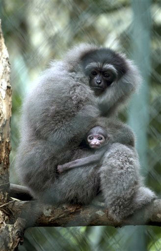 A Silvery Gibbon holds her two-week-old baby at the Bali Zoo in Gianyar, Bali, Indonesia on Monday, Dec. 3, 2012. The Silvery Gibbon &#40;Hylobates moloch&#41; is currently listed as critically endangered by the International Union for Conservation of Nature &#40;IUCN&#41;. They are in danger mostly because of commercial deforestation.  It is estimated that only 4&#37; of their original native habitat is still available to the species. &#40;AP Photo&#47;Firdia Lisnawati&#41; <span class=meta>(AP Photo&#47; Firdia Lisnawati)</span>