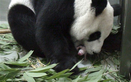 CORRECTS PANDA&#39;S NAME TO YUAN YUAN INSTEAD OF TUAN TUAN - In this photo taken Saturday, July 6, 2013 released by the Taipei Zoo, a female giant panda named &#34;Yuan Yuan&#34; one of a pair presented by China four years ago to mark warming ties with Taiwan, is seen giving birth to a female cub at the Taipei Zoo, in Taiwan. Zoo officials said 9-year-old &#34;Yuan Yuan&#34; delivered the cub Saturday night, following artificial insemination given in March. &#40;AP Photo&#47;Taipei Zoo&#41; <span class=meta>(AP Photo&#47; Uncredited)</span>