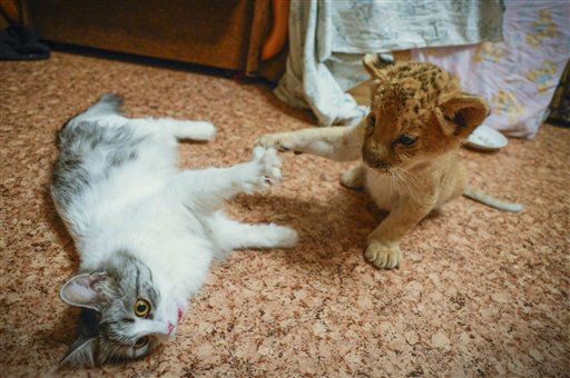 "<div class=""meta ""><span class=""caption-text "">Female liliger cub Kiara, a hybrid between a lion and a ligress,  plays with a cat at the Novosibirsk Zoo, in Novosibirsk, eastern Sibiria, Saturday, Sept. 22, 2012. Kiara is the first female liliger born over a month ago at the Novosibirsk Zoo. Kiara's mother, Zita, stopped producing milk almost immediately after giving birth, so Zoo employees placed Kiara in a separate facility and feed her with a special milk mix. The cub plays with a house cat which also provides motherly warmth. (AP Photo /Ilnar Salakhiev) (AP Photo/ Ilnar Salakhiev)</span></div>"
