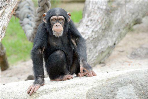 Ein junger Schimpanse inspiziert am Dienstag (02.10.12) im Zoo in Basel, Schweiz, die neue Aussenanlage. Nach zwei Jahren Bauzeit koennen Besucher jetzt die neue Anlage fuer Menschenaffen im Basler Zolli besuchen. Rund 30 Millionen Franken kostete das neue Affenhaus samt Freigehege, davon wurden ueber 80 Prozent aus Spenden finanziert. Foto: Winfried Rothermel/dapd
