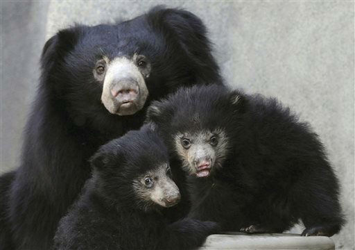 In this May 7, 2013 photo provided by the Chicago Zoological Society, two sloth bear cubs are seen on exhibit with their mom Hani. at the Brookfield Zoo in Brookfield, Ill. Until May 8, the 3 1&#47;2-month-old male and female cubs, born Jan. 20. have been off exhibit with their mother in a maternity den. A total of fewer than 20,000 bears are thought to remain in the wild. There is evidence of wild populations having declined 30 to 49 percent in the last 30 years due to deforestation and poaching mainly for the medicinal market. Currently, there are 39 sloth bears exhibited at 18 North American zoos accredited by the Association of Zoos and Aquariums. &#40;AP Photo&#47;Chicago Zoological Society, Jim Schulz&#41; <span class=meta>(AP Photo&#47; Jim Schulz)</span>