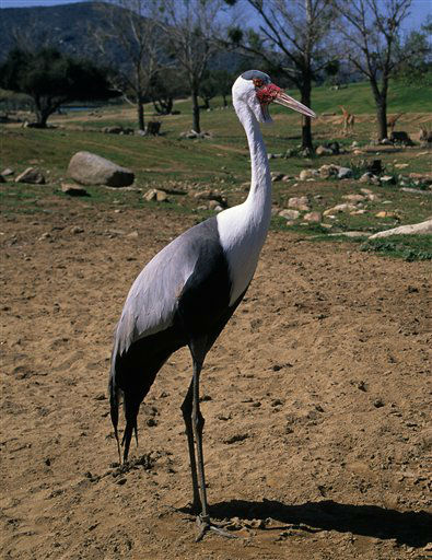 This undated photo provided by the Zoological Society of San Diego shows a wattled crane. They are among the animals being considered for a new facility planned by the San Diego Zoo Global Wildlife Conservancy and New Orleans&#39; Audubon Nature Institute in New Orleans. Of 28 species under consideration, about half are endangered, vulnerable or near threatened. &#40;AP Photo&#47;Zoological Society of San Diego&#41; <span class=meta>(AP Photo&#47; Uncredited)</span>