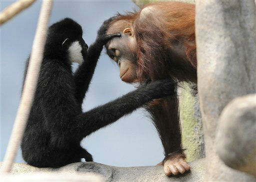 "<div class=""meta ""><span class=""caption-text "">In this Jan. 20, 2013 photo provided by the Chicago Zoological Society, Thani, left, a 3-year-old white-cheeked gibbon recently met Kekasih, a 4-year-old orangutan, while exploring the Tropic World Asia exhibit at the Brookfield Zoo in Brookfield, Ill. Guests may occasionally see Thani jump from the high trees in the indoor habitat to the large peninsula to visit his new friend. (AP Photo/Chicago Zoological Society, Jim Schulz) (AP Photo/ Jim Schulz)</span></div>"