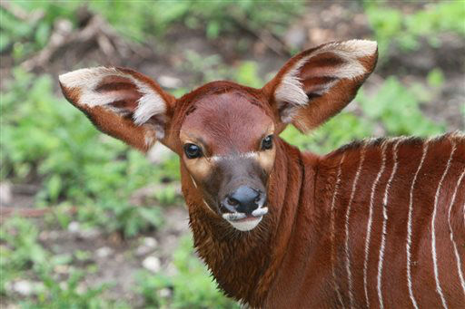 This undated photo provided by the Minnesota Zoo, a bongo antelope is shown at the Minnesota Zoo. The zoo announced Tuesday, June 25, 2013,  that a male bongo antelope was born June 6 and a female arrived 10 days later. The zoo has five other adult bongo antelopes, which are native to rain forests with dense undergrowth across tropical Africa. The auburn- or chestnut-colored animals have 10 to 15 vertical white stripes &#40;AP Photo&#47;Minnesota Zoo&#41; <span class=meta>(AP Photo&#47; Adam Keniger)</span>
