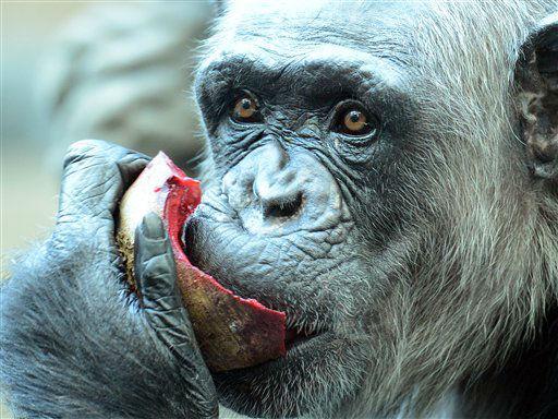Ein Schimpanse verzehrt am Dienstag (02.10.12) im Zoo in Basel, Schweiz, eine Frucht. Nach zwei Jahren Bauzeit koennen Besucher jetzt die neue Anlage fuer Menschenaffen im Basler Zolli besuchen. Rund 30 Millionen Franken kostete das neue Affenhaus samt Freigehege, davon wurden ueber 80 Prozent aus Spenden finanziert. Foto: Winfried Rothermel/dapd