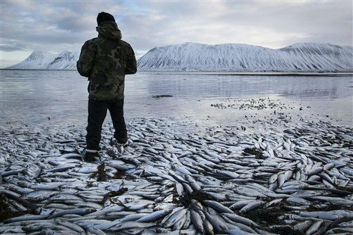Herring worth  billions in exports are seen floating dead Tuesday Feb. 5 2013 in Kolgrafafjordur, a small fjord on the northern part of Snaefellsnes peninsula, west Iceland, for the second time in two months. Between 25,000 and 30,000 tons of herring died in December and more now, due to lack of oxygen in the fjord thought to have been caused by a landfill and bridge constructed across the fjord in December 2004. The current export value of  the estimated 10,000 tons of herring amounts to ISK 1.25 billion &#40;&#36; 9.8 million, euro 7.2 million&#41;, according to Morgunbladid newspaper. &#40;AP Photo&#47;Brynjar Gauti&#41; <span class=meta>(AP Photo&#47; Brynjar Gauti)</span>