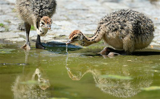 Ostrich fledglings drink water in their enclosure in the Berlin Zoo, Germany, Tuesday July 9, 2013.  Weather forecasts predict sunny weather for the next few days in Germany.  &#40;AP Photo&#47;dpa, Matthias Balk&#41; <span class=meta>(AP Photo&#47; Matthias Balk)</span>