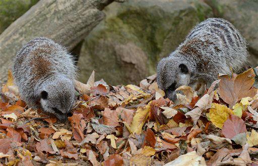 Zwei Erdmaennchen (Suricata suricatta) suchen am Mittwoch (10.10.12) im Zoo in Hannover in einem Laubhaufen nach Mehlwuermern. Mit dem Ende des Spaetsommers hat der Herbst auch bei den Tieren im Zoo in Hannover Einzug gehalten. Foto: Frank Tunnat/dapd