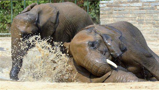 ARCHIV: Die Elefantendamen Seronga, Csami und Safari geniessen ihr Bad in einem Wasserbecken im Zoopark in Erfurt &#40;Foto vom 05.08.03&#41;. In den Bemuehungen um eine erfolgreiche Nachzucht der in freier Wildbahn bedrohten Afrikanischen Elefanten haben der Thueringer Zoopark Erfurt und der suedfranzoesische Safaripark Sigean einen umfassenden Tiertausch vereinbart. Nach monatelangen Gespraechen seien die Vertraege nun unterzeichnet, sagte der Zoodirektor Thomas Koelpin am Donnerstag &#40;15.11.12&#41;. Er sprach von einem &#34;Gluecksfall fuer beide Zoos und fuer die Elefanten&#34;.     Demnach werden die beiden Elefantendamen Csami und Seronga im kommenden Fruehjahr von Erfurt nach Frankreich ziehen.  &#40;zu dapd-Text&#41; Foto: Jens-Ulrich Koch&#47;dapd <span class=meta>(Photo&#47;Jens-Ulrich Koch)</span>