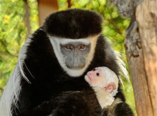 This Dec. 22, 2012 photo provided by the Los Angeles Zoo shows a female Kikuyu colobus monkey and her newborn zoo in Los Angeles. The Zoo?s newest addition was born on Dec. 21, 2012. Found throughout the forests of central Africa, adult Kikuyu colobus primates have black bodies trimmed with long white mantles. Infant colobus monkeys are born all white and do not start to get their black trim until about three and one half months of age. &#40;AP Photo&#47;Los Angeles Zoo, Tad Motoyama&#41; <span class=meta>(AP Photo&#47; Tad Motoyama)</span>