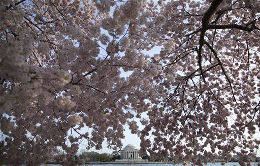 The Jefferson Memorial is framed by cherry blossom trees in full bloom along the Tidal Basin on Wednesday, April 10, 2013, in Washington. (AP Photo/Evan Vucci)
