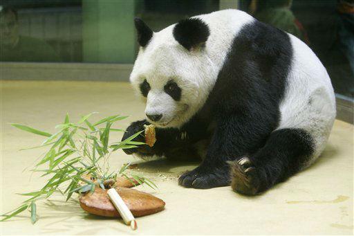 ARCHIV: ARCHIV: Pandabaer Bao Bao frisst in seinem Gehege im Zoo in Berlin einen Kuchen, den er zu seinem 25 &#40;Foto vom 04.11.05&#41;. Jahrestag im Zoo Berlin bekam &#40;Foto vom 04.11.05&#41;. Ein Publikumsliebling des Berliner Zoos ist tot. Der Pandabaer Bao Bao starb am Mittwoch &#40;22.08.12&#41; in seinem Gehege, wie Zoodirektor Bernhard Blaszkiewitz mitteilte. Mit 34 Jahren sei Bao Bao der aelteste lebende maennliche Bambusbaer der Welt gewesen. Die Pfleger konnten in den vergangenen Monaten einen &#34;altersgemaessen koerperlichen Verfall&#34; beobachten. Eine Sektion solle die genaue Todesursache klaeren. &#40;zu dapd-Text&#41; Foto: Franka Bruns&#47;AP&#47;dapd <span class=meta>(Photo&#47;Franka Bruns)</span>