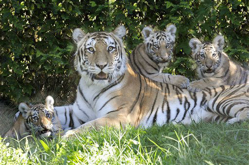 In this Aug. 30, 2012 photo provided by the Wildlife Conservation Society, Katharina, an Amur tiger, and her three new cubs recline in the shade at the Bronx Zoo?s Tiger Mountain exhibit in New York. The cubs were born to Katrina and her mate, Sasha, in April 2012. &#40;AP Photo&#47;WCS, Julie Larsen Maher&#41; <span class=meta>(AP Photo&#47; Julie Larsen Maher)</span>