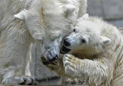 Little polar bear Anori plays with his mother Vilma on a cold and rainy autumn day at the zoo in Wuppertal, Germany, Friday, Sept. 14, 2012. (AP Photo/Martin Meissner)