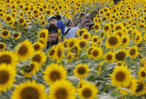 Yuto Ono, 3, sitting on his father&#39;s shoulders goes through a field of sunflowers at a park in Zama, west of Tokyo, Friday, Aug. 17, 2012. &#40;AP Photo&#47;Itsuo Inouye&#41; <span class=meta>(AP Photo&#47; Itsuo Inouye)</span>
